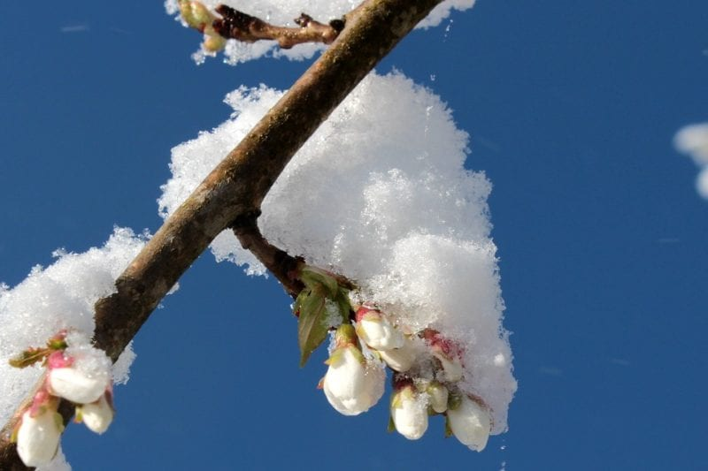 Unexpected snowstorm in cherry blossom season